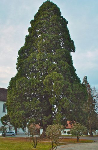 Sequoia (Wellingtonia) gigantea