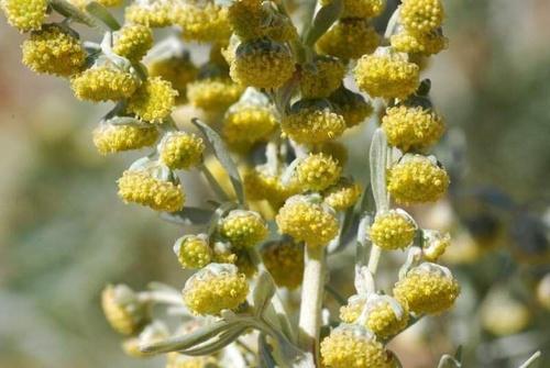 flori pelin