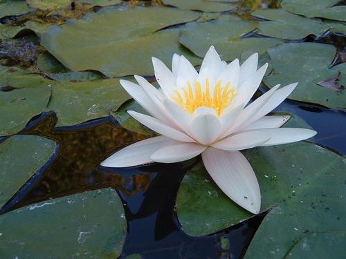 lotus termal