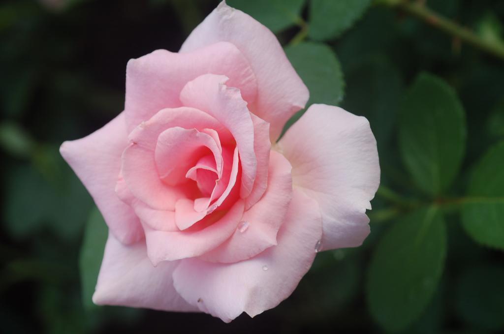 trandafir amiga mia