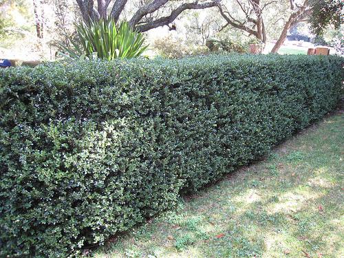 Buxus japonica profilul unei plante - Arbuste contemporain ...