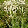 Eringium yuccifolium