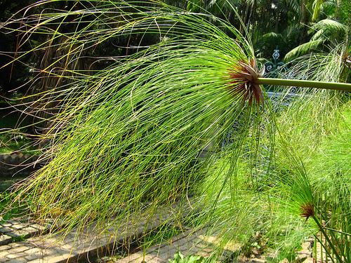 Planta de papirus