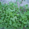 Brassica rapa var. Rosularis