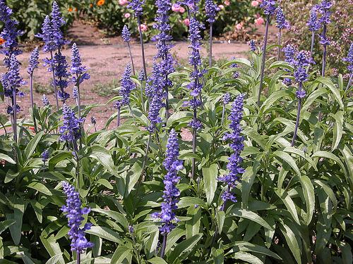 Camp cu Salvia farinacea