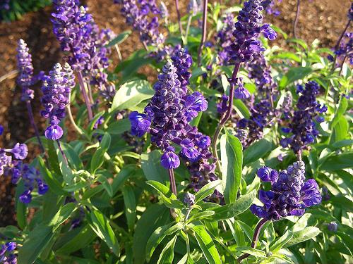 Salvia farinacea este sensibila la mucegai
