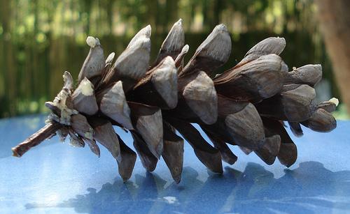 Con de Pinus strobus