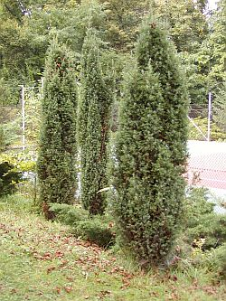 Juniperus Communis. Sursa:about-garden.com