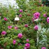 Bolile trandafirilor copaci