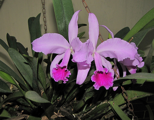 Orhidee cattleya