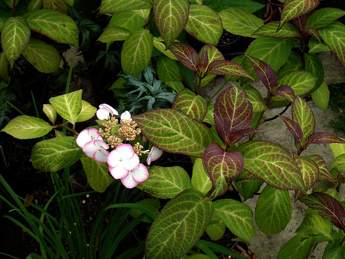 Hydrangea japoneza