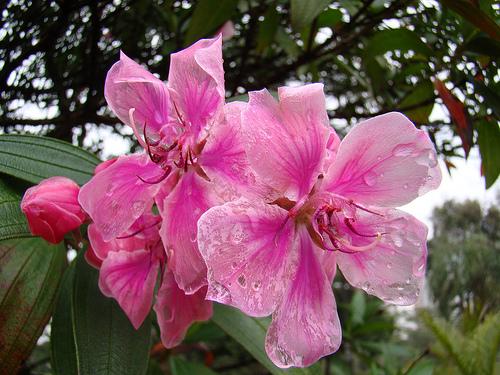 Trandafirul chinezesc