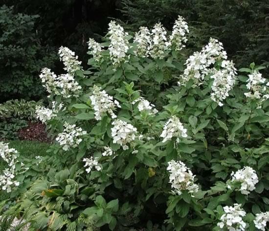 Hydrangea tardiva. Sursa: www.naturalc.com