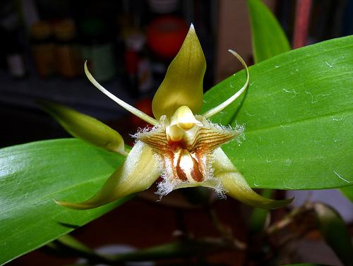 Orhidee Coelogyne