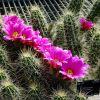 Cactusul Echinocereus