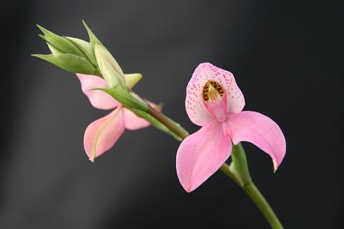 Orhideea Disa