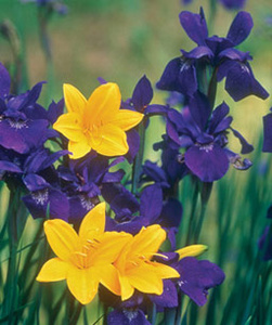 Hemerocallis cv. si Iris