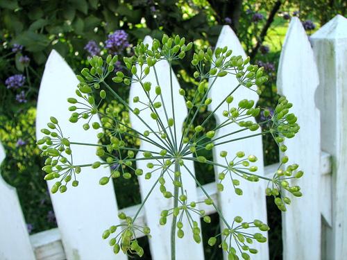 Floarea de marar