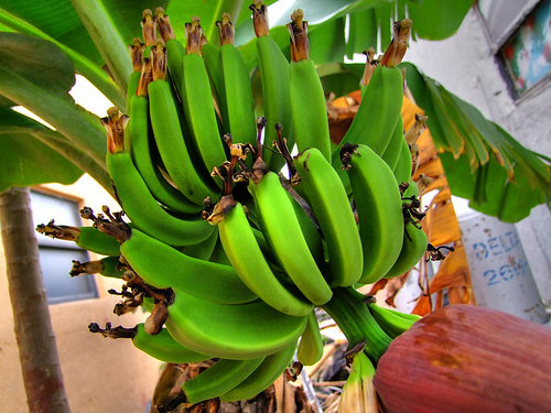 banane necoapte
