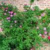 Plantele agatatoare in gradina