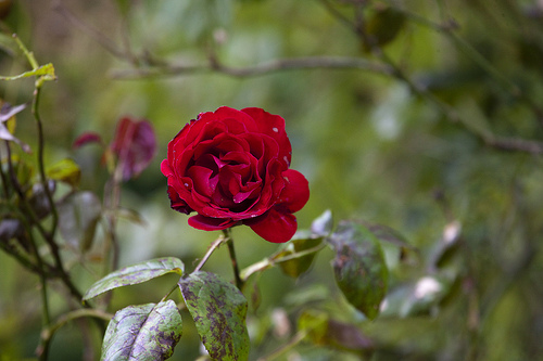 Trandafir catarator