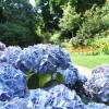 Gradina din plante decorative albastre