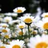 Crizantemele – Bijuteriile gradinii de toamna