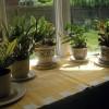 Bolile si daunatorii plantelor decorative de interior