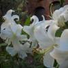 Crinii din gradina (I) - Planteaza crini in gradina