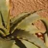 Aloe Vera (II) - Despre proprietatile aloei vera