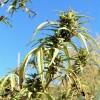 Marijuana (IV) - Ce contine marijuana?
