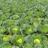 Varza - Brassica oleracea (II) - Despre utilizarea verzei