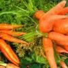 Morcovul - Daucus carota (II) - Despre utilizarea morcovului