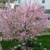 Migdalul - Prunus dulcis