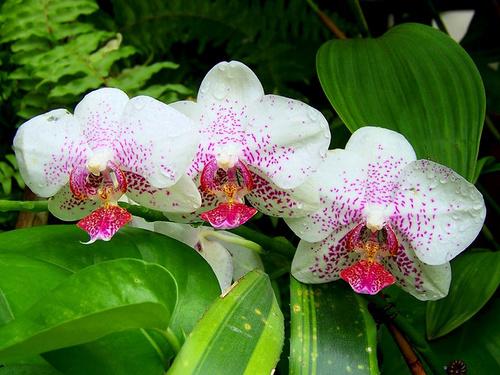 orhidee_phalaenopsis_width