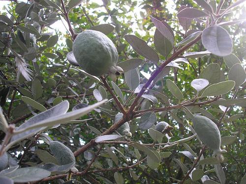 avocado_arbore_width