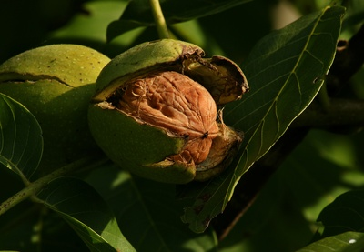 Fruct de nuc