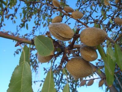 Fructe de migdal