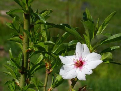Prunus dulcis var.amara