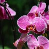 Bolile orhideelor