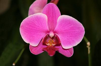 Orhidee Phalaenopsis hibrid