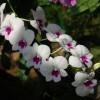 Daunatorii orhideelor (I)