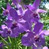 Daunatorii orhideelor (II)