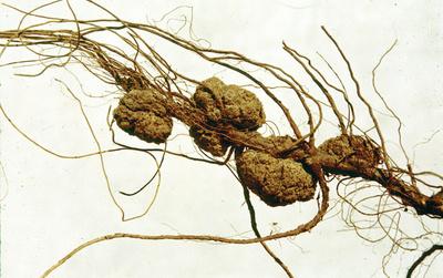 Cancerul rădăcinilor