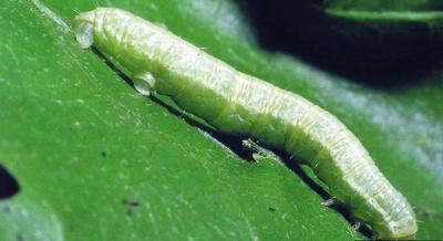 Larva de cotar