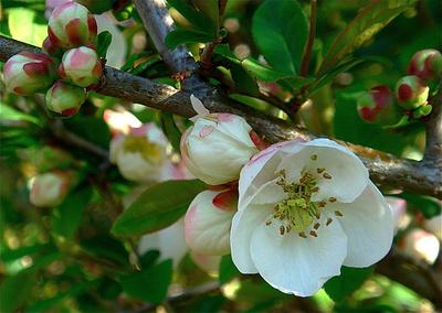 Flori de gutui
