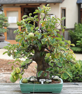 Bonsai de gutui