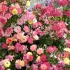 Plantarea si ingrijirea trandafirilor (II)