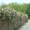 Trandafirii cataratori (I)