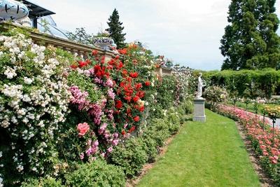 Pergola cu trandafiri cataratori